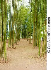 bambusowe drzewo, roślina