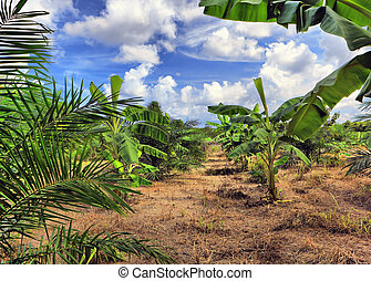 banan, plantering, thailand
