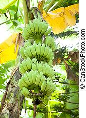 Banana and banana trees.
