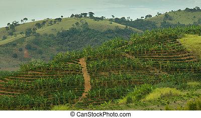 Banana and Coffee Plantation - Banana and Coffee plantation...