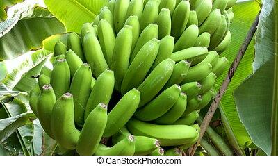 banana bunch at the banana plantation platano of Tenerife,...