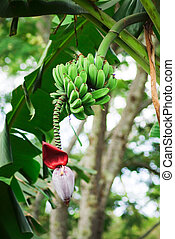 Banana bunch (Musa acuminata) and flower in a plantation