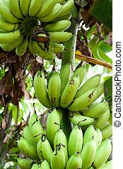 banana, colheita
