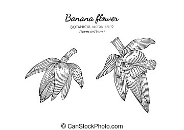 Banana flower hand drawn botanical illustration with line art on white backgrounds.