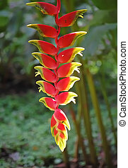 Banana flowers hang from banana tree. - Banana flowers in...
