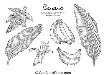 Banana fruit and leaf hand drawn botanical illustration with line art on white backgrounds.