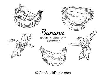 Banana fruit hand drawn botanical illustration with line art on white backgrounds.