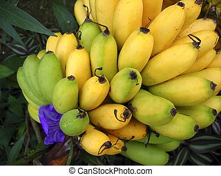 banana fruits branch yellow over green bananas