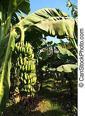 Banana fruits on plantation