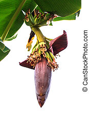 Banana inflorescence (Banana flower) with banana leaves on the tree.