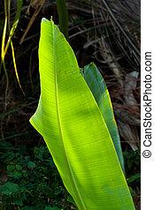 banana leaf close up