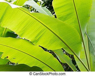 Banana leaf on a white sky in the morning.
