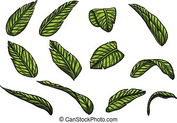 Banana leaf vector by hand drawing.