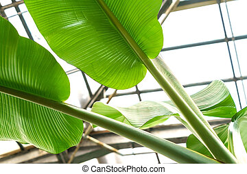 banana leaves closeup