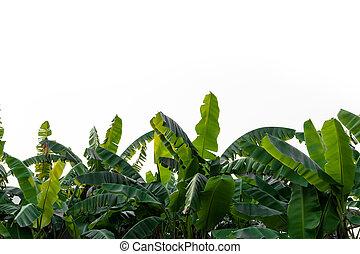 Banana leaves isolated on white background.