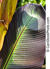Detail of the big leaf of a banana palm (Musa Acuminata Colla)