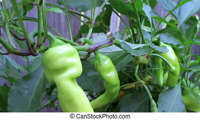 Banana Pepper - Close-up of banana pepper plant, with...