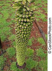 Banana - Green unique bananas in the garden