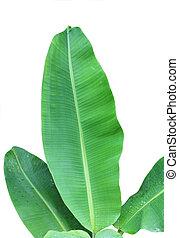 Banana Plant - Banana leaves isolated on white background