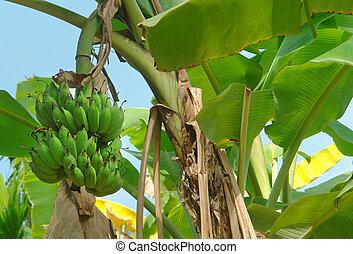 banana plant - sunny illuminated detail of a banana...