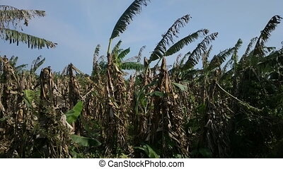 Banana plantation after harvest 3. India, Kerala. - Banana...