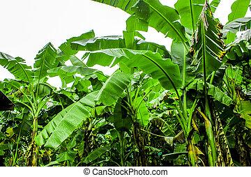 banana plantation garden is moist  and raindrop