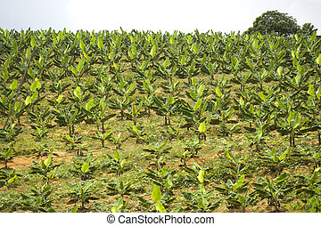 Banana Plantation - Image of a banana plantation at Bandar ...