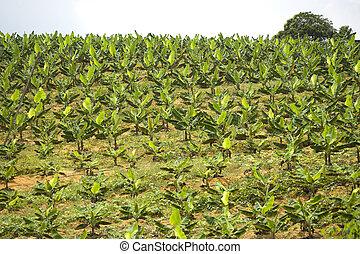 Banana Plantation - Image of a banana plantation at Bandar ...