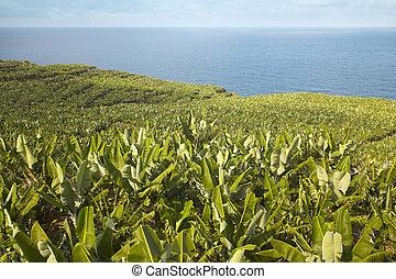 Banana plantation in La Palma. Spain