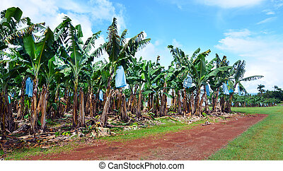 Banana plantation in Queensland Australia