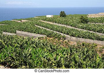 Banana plantation on Canary Island Tenerife, Spain