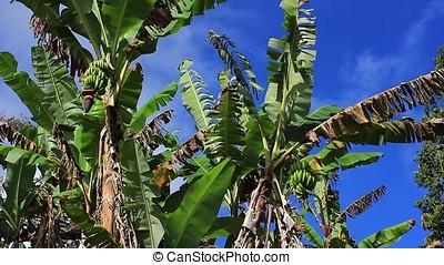 banana plants - banana plans against blue sky