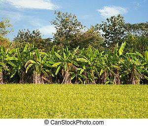 Banana tree behind Rice field in Thailand