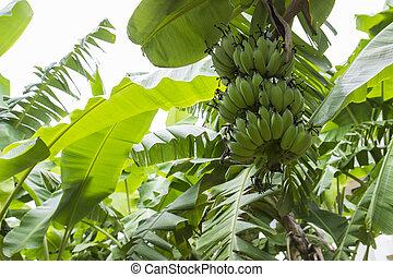 banana tree farm