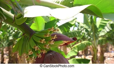 Banana tree grove on Cyprus island video