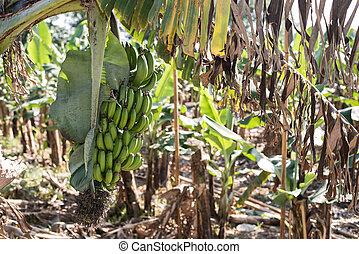 banana tree in the farm