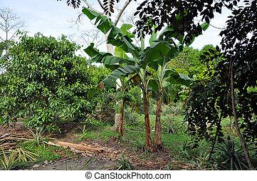 Banana tree in the jungle