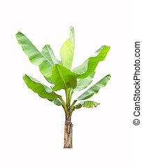 Banana tree isolated