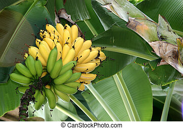Ripe & unripened Bananas on a Banana tree