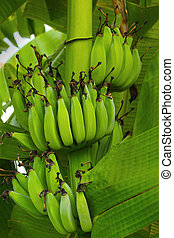 Banana tree with a bunch of bananas