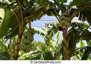 Banana tree with a bunch of bananas