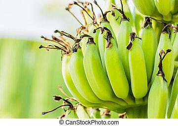 Banana tree with bunch of raw green bananas
