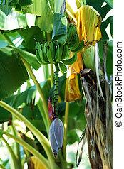 banana tree with green bananas - a banana tree with some...