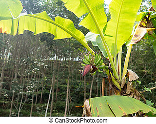 Banana tree with green leaves and banana flower in plantation.