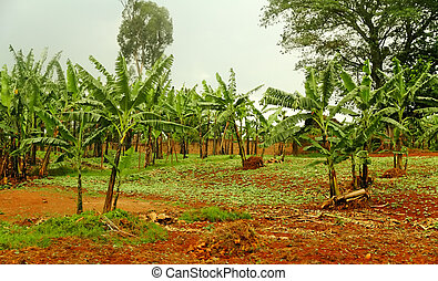 Banana Trees in Rwanda