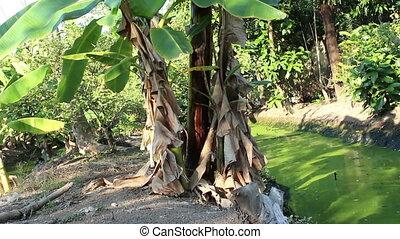 Banana trees plantation in thailand