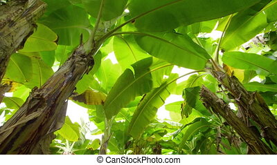 Banana trees worms eye view - A worms eye view of a banana...