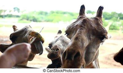 bananas feeding giraffes in Safari park. HD. 1920x1080