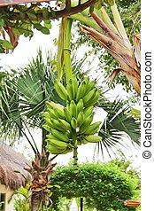 Bananas Hanging on the Tree
