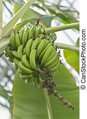 Bananas in tree